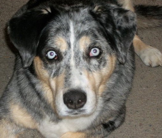 year old blue heeler and Australian Shepard mix whose name is Blue