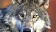Most commonly known as the gray wolf, Canis Lupus first appeared in North America 750,000 years ago. Throughout historical lore […]