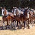 Before electricity or engines, the heavy haulers were the draft horses. They were used in the agricultural industry to work […]